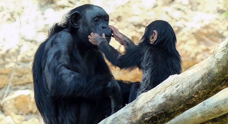 A young chimpanzee gently touching the face of an adult one, seemingly one of its parents